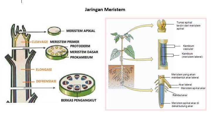 Sebutkan bentuk-bentuk sel meristem! - Brainly # ...