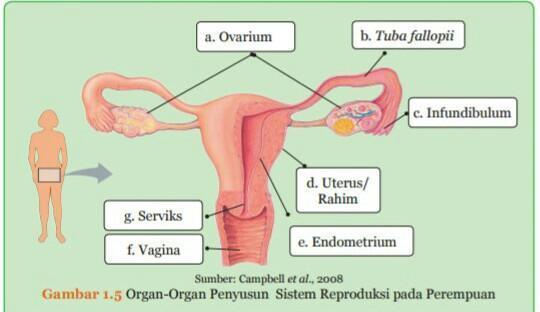 Bollssumber Campbell Et Al 2008gambar 1 6 Organ Organ Penyusun Sistem Reproduksi Pada Brainly Co Id