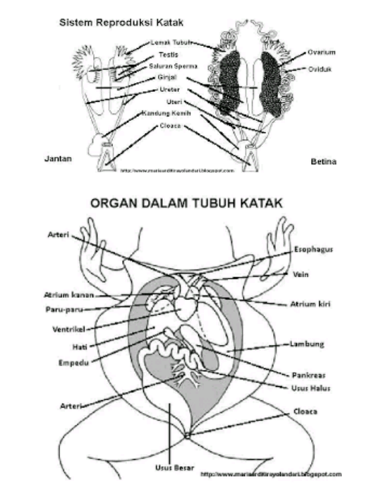 Gambar Organ Tubuh Katak Dan Penjelasannya Brainlycoid