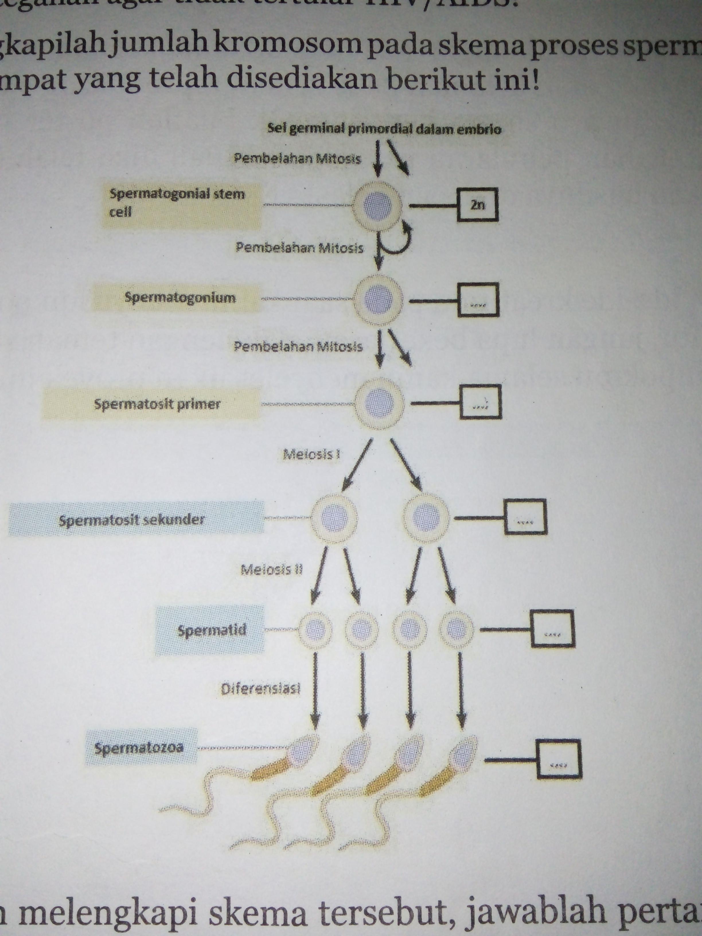 4lengkapilah jumlah kromosom pada skema proses spermatogenesis di lengkapilah jumlah kromosom pada skema proses spermatogenesis di tempat yang telah disediakan berikut ini setelah melengkapi skema tersebutjawablah ccuart Image collections