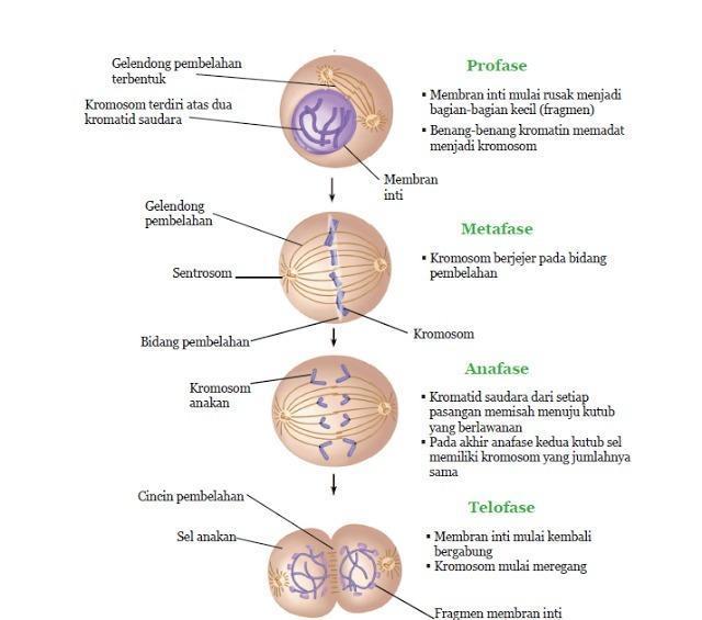 Contoh Gambar Pembelahan Mitosis Dan Meiosis Beserta Penjelasannya Brainly Co Id