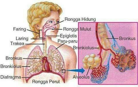 Gambar Sistem Pernafasan Pada Manusia Brainly Co Id