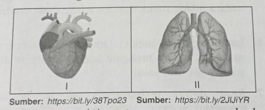 Persamaan Ciri Otot Yang Menyusun Paru Paru Dan Jantung ...