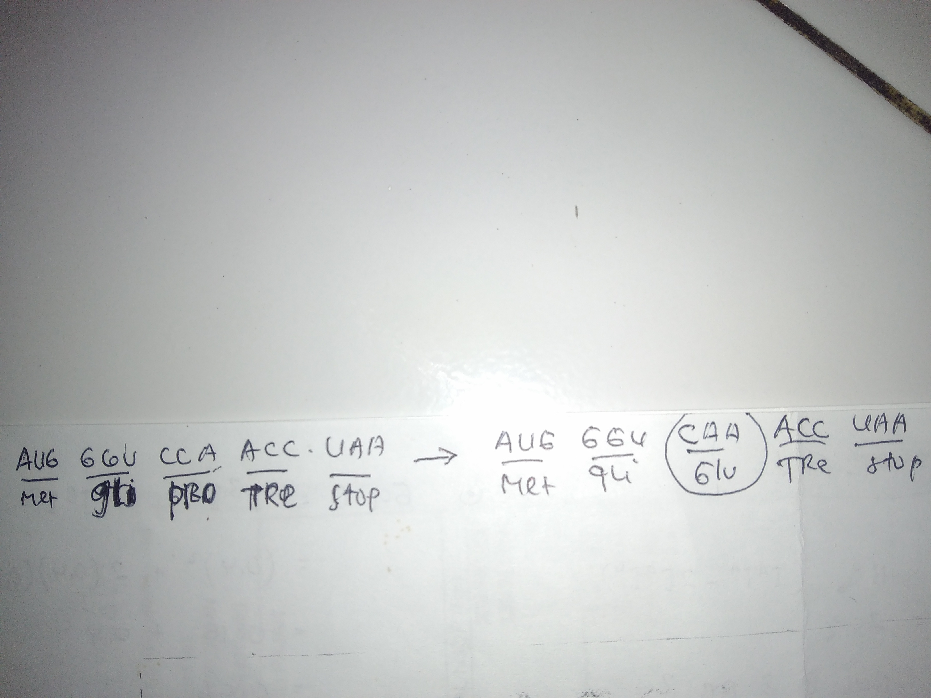 Perhatikan Urutan Basa Nukleotida Pada Mrna Berikut Aug Ggu Cca Acc Uaa Met Arg Gli Pro Tre Stop Brainly Co Id