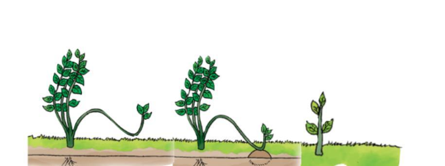 Tumbuhan Pada Gambar Berkembang Biak Secara Vegetatif Buatan Dengan Cara Brainly Co Id