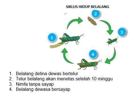 Buatlah skema siklus hidup belalang lengkap dengan ...