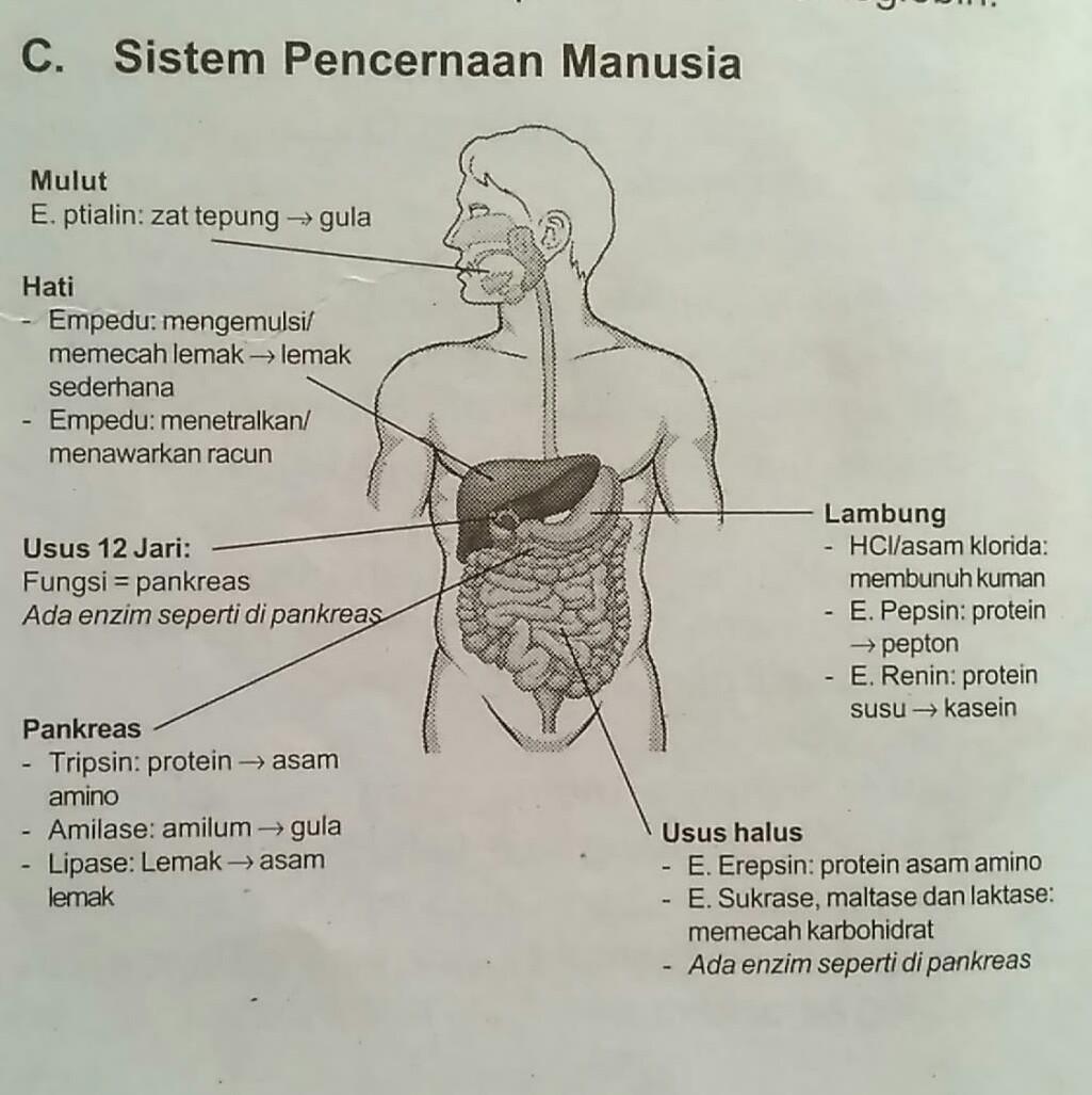 Tolong Gambarkan Organ Pencernaan Pada Manusia Dan Jelaskan Fungsinya Satu Per Satu Brainly Co Id