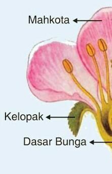 Penjelasan Bunga Kembang Sapatu Dan Bagiannya Brainly Co Id