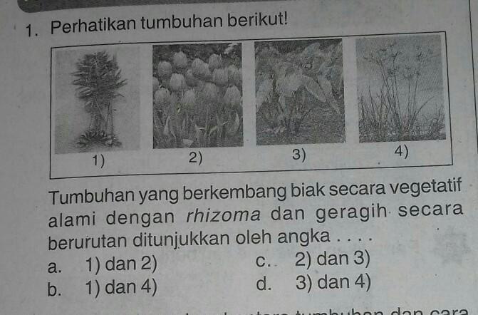 1 Perhatikan Tumbuhan Berikut Tumbuhan Yang Berkembang Biak Secara Vegetatifalami Dengan Rhizoma Brainly Co Id