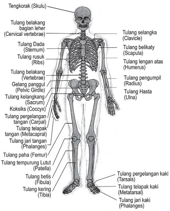 gambar rangka manusia - Brainly.co.id
