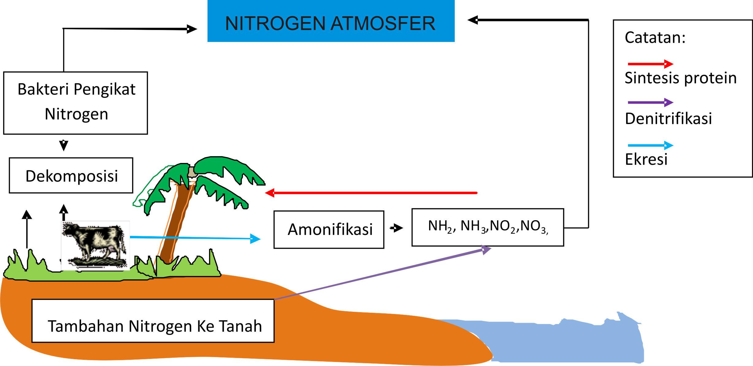 Perhatikan siklus nitrogen berikut secara berurutan proses yang unduh jpg ccuart Image collections