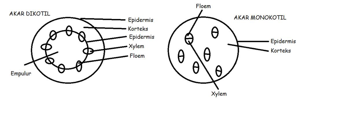 Apakah perbedaan antara jaringan angkut xilem dan floem ...