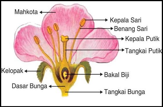 Ada Yang Bisa Kasih Gambar Bunga Kamboja Beserta Bagian Bagiannya Brainly Co Id