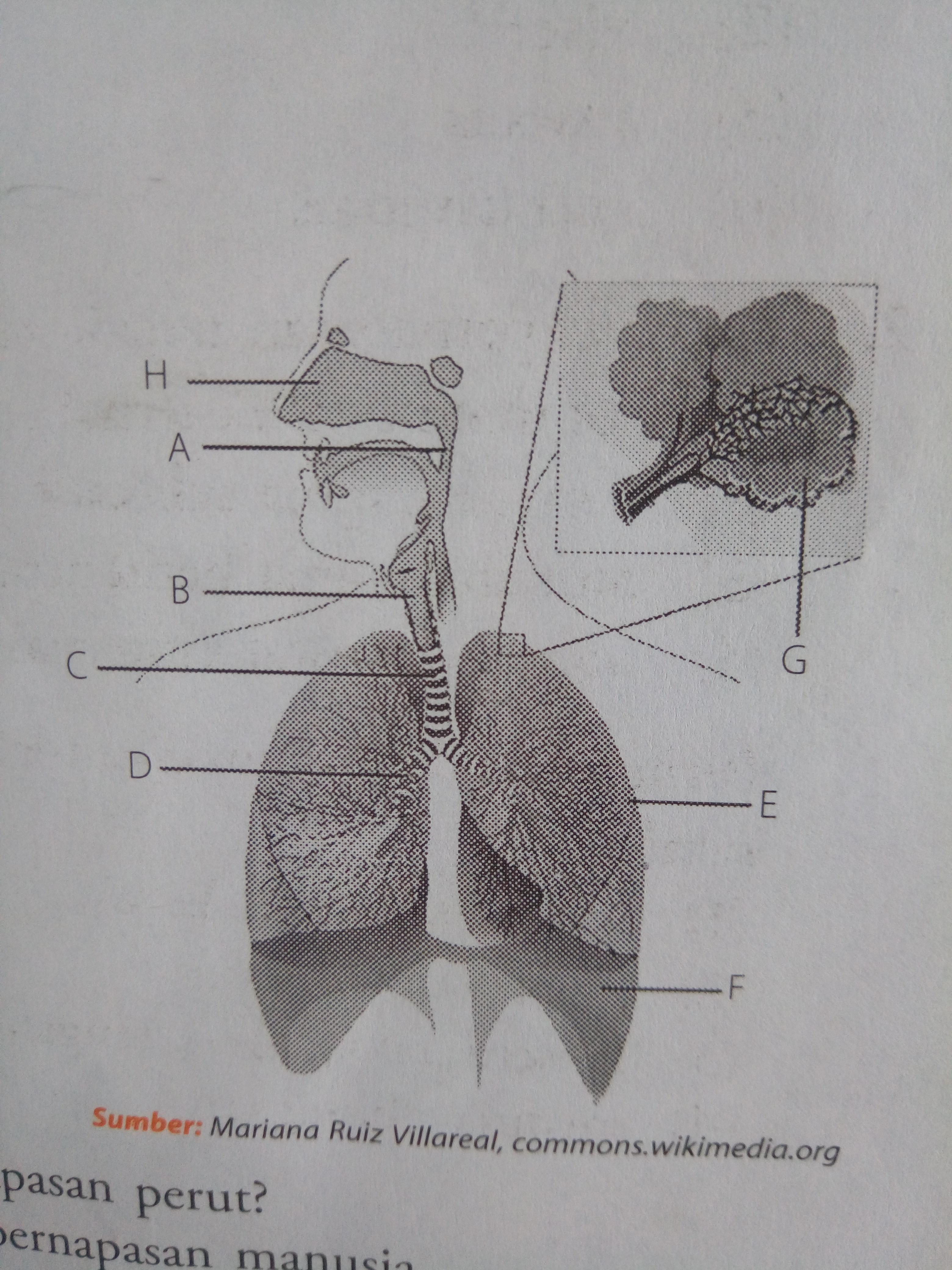 Perhatikan Gambar Sistem Pernapasan Manusia Di Samping Sebutkan Nama Bagian A B C D E F G Dan H Brainly Co Id