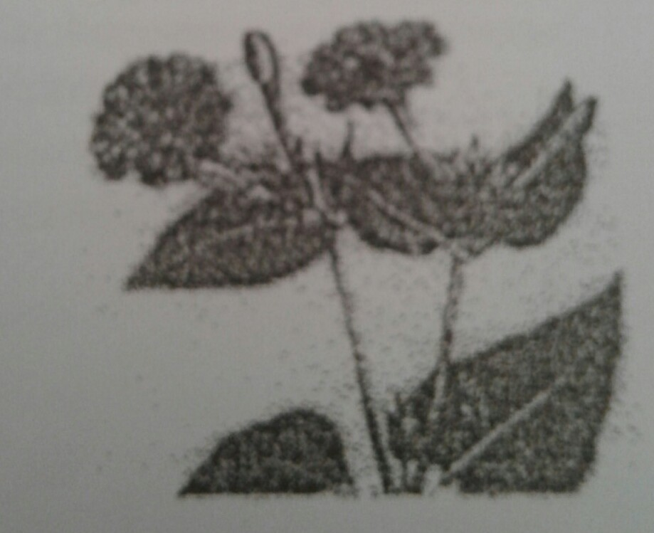 Mekarnya Bunga Pukul Empat Mikrabilis Jalapa Seperti Pada Gambar Merupakan Contoh Gerak A Brainly Co Id