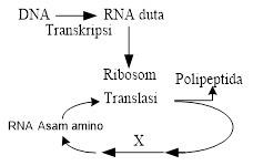 Diagram langkah sintesis protein tahapan x pada diagram sintesis diagram langkah sintesis protein tahapan x pada diagram sintesis protein tersebut adalah a perubahan dna menjadi rna ccuart Choice Image