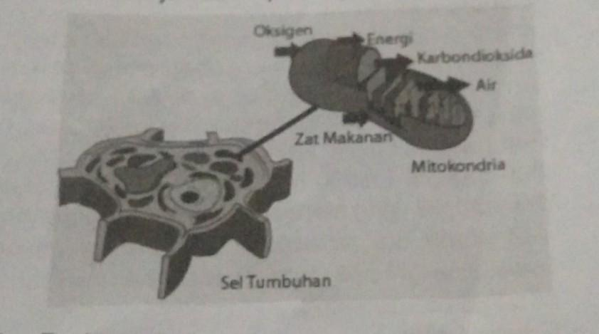 1 Apakah Fungsi Mitokondria 2 Proses Apa Yang Terjadi Di Dalam Mitokondria 3 Pada Tubuh Makhluk Brainly Co Id