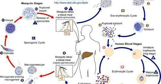 malária plazmodium sporogony tünetek diagnosztizálása giardiasis kezelése