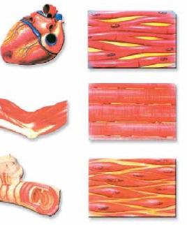 Gambar otot manusia dan ciri cirinya - Brainly.co.id