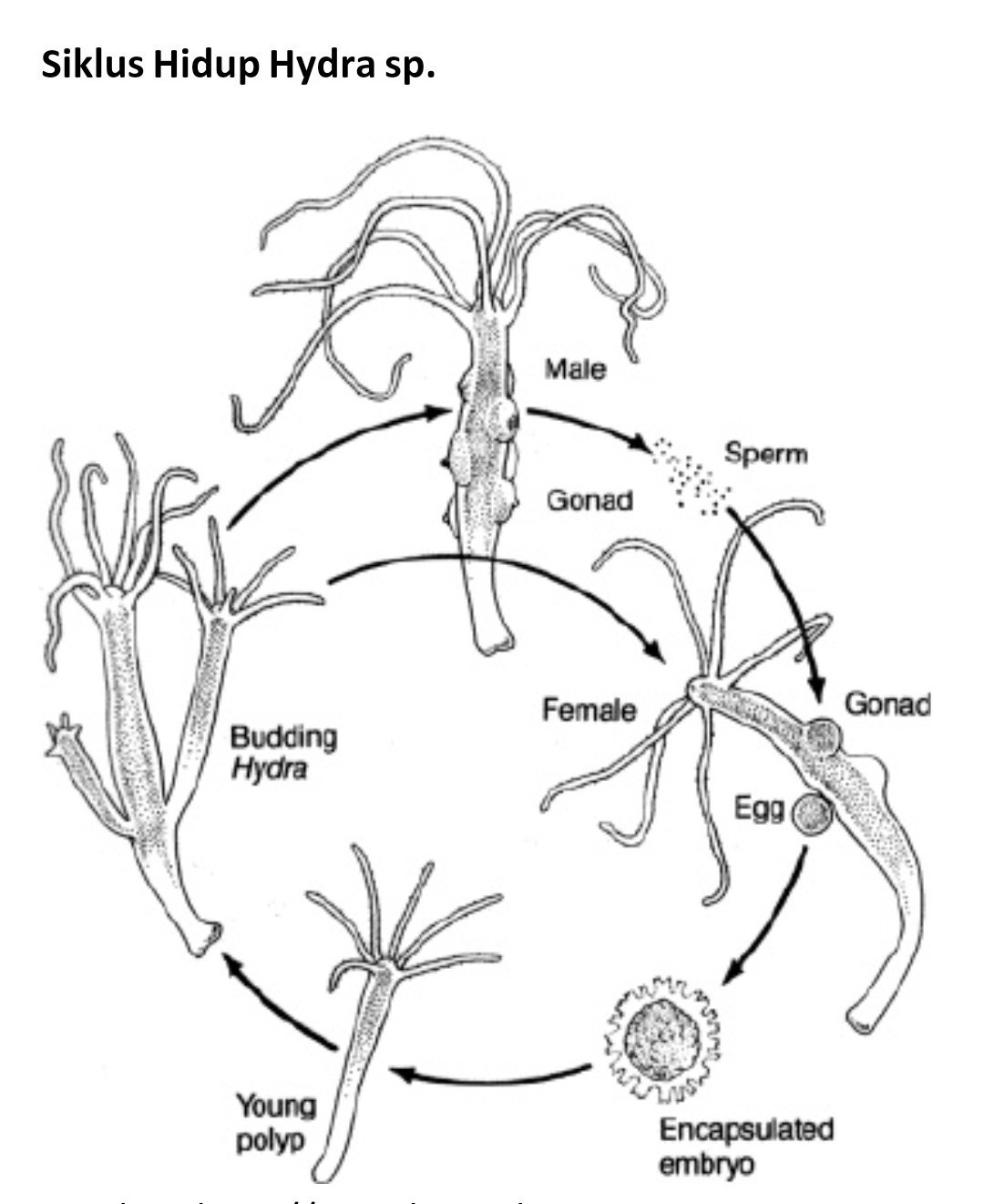 siklus hidup hydra sp