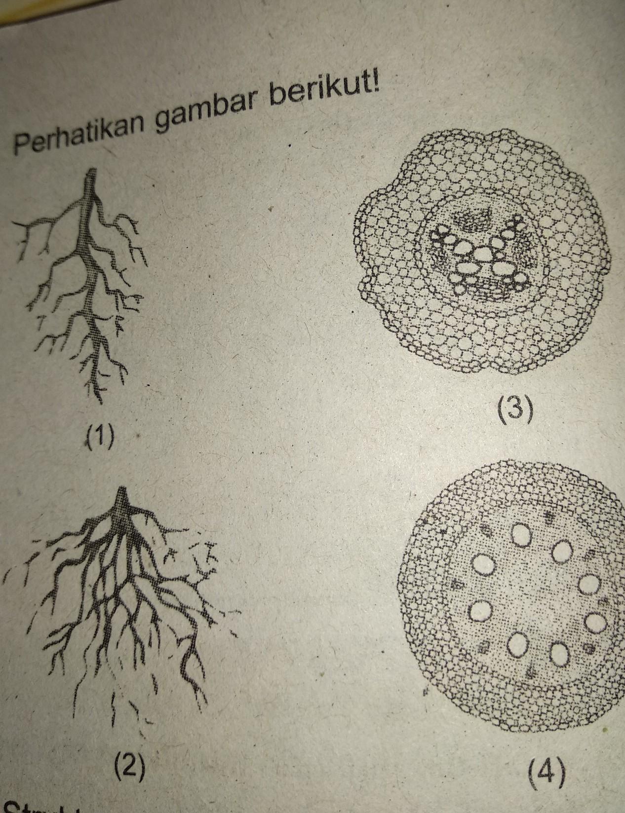 Struktur Morfologi Dan Anatomi Akar Tumbuhandicotyledoneae Berturut Turut Terdapat Padanomora 1 Brainly Co Id