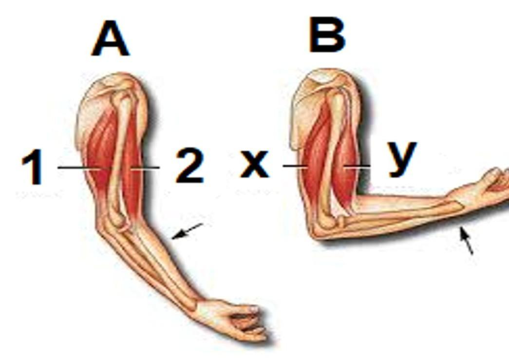 34. Perhatikan gambar di bawah ini!Pasangan otot yang ...
