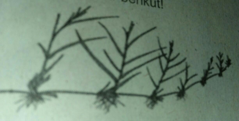 Tumbuhan Yang Dpt Dikembang Biakan Seperti Pada Gambar Adalah A