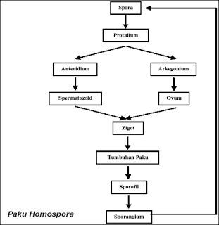 Skema Metagenesis Tumbuhan Lumut Heterotallus Brainly Co Id