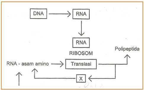 Diagram langkah sintesis protein brainly unduh jpg ccuart