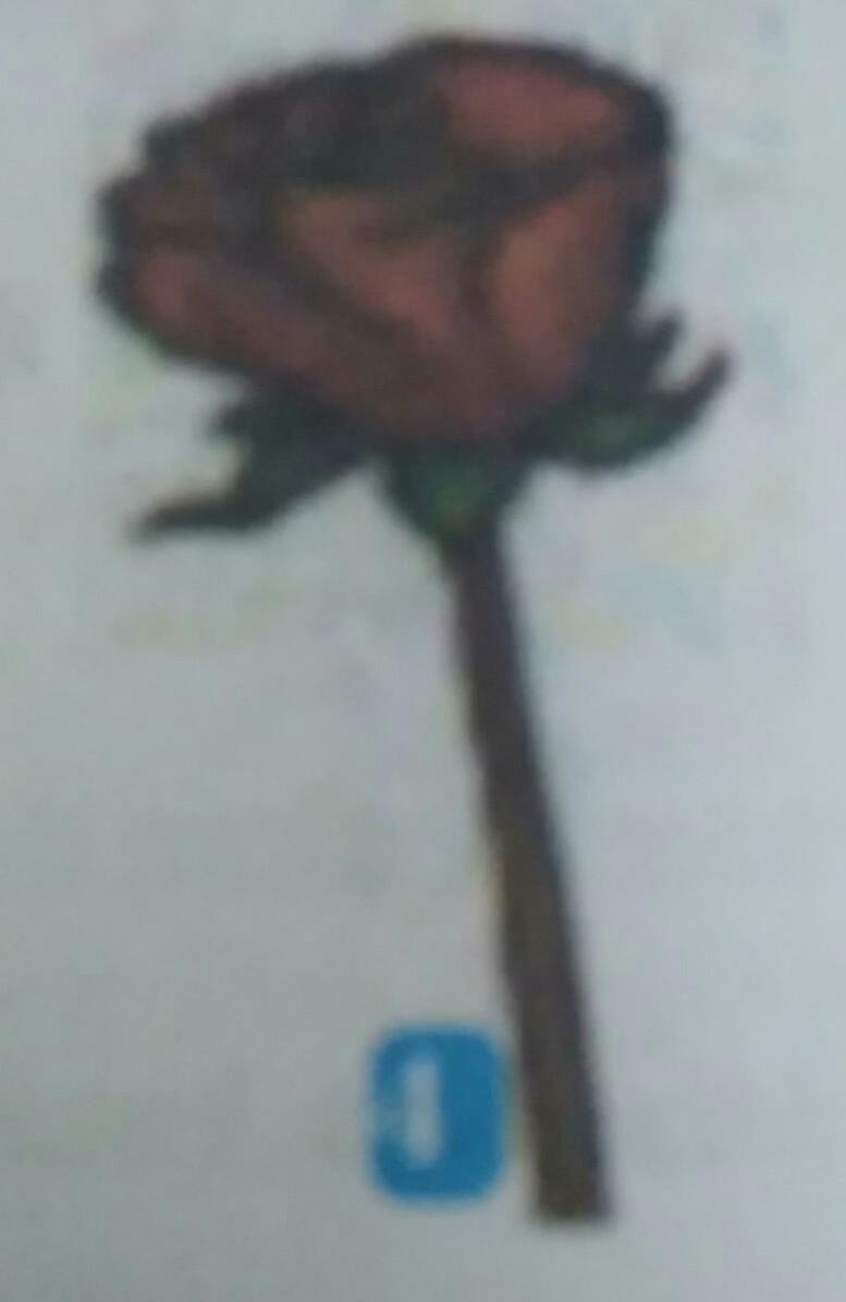 Contoh Gambar Bunga Mawar Brainly Co Id