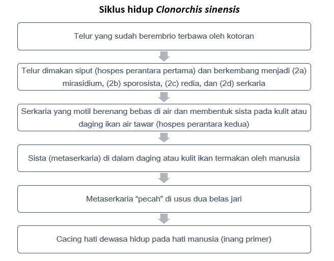 berilah keterangan pada daur hidup clonorchis sinensis