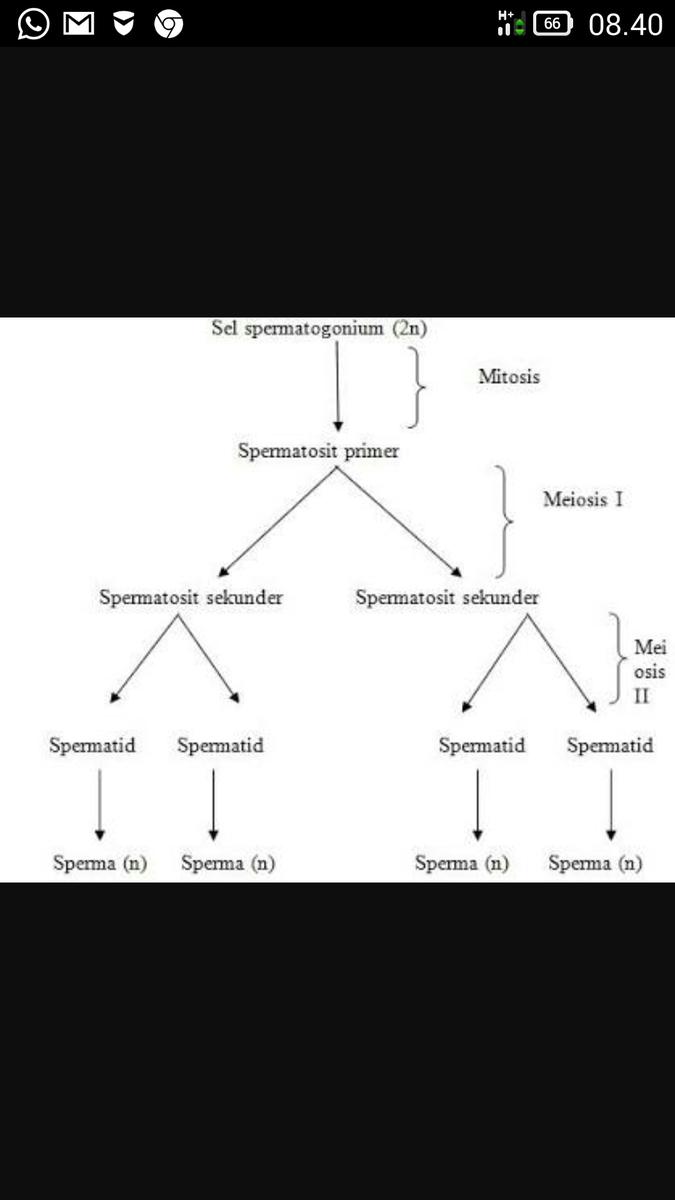 Buatlah diagram proses spermatogenesis dan oogenesis pada manusia unduh jpg ccuart Image collections