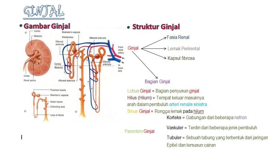 struktur dan bagian bagian dari penyusun ginjal serta