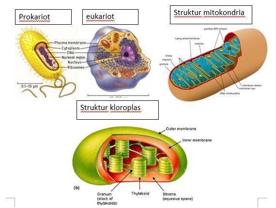 Apakah Bakteri Memiliki Organel Yang Memiliki Struktur Dan Fungsi Yang Sama Dengan Mitokondria Dan Brainly Co Id