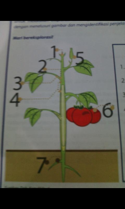 sebutkan bagian bagian yg ada di pohon tomat beserta ...
