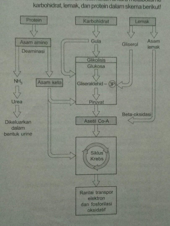 Jelaskan hubungan antara metabolisme karbohidratproteindan lemak unduh jpg ccuart Choice Image