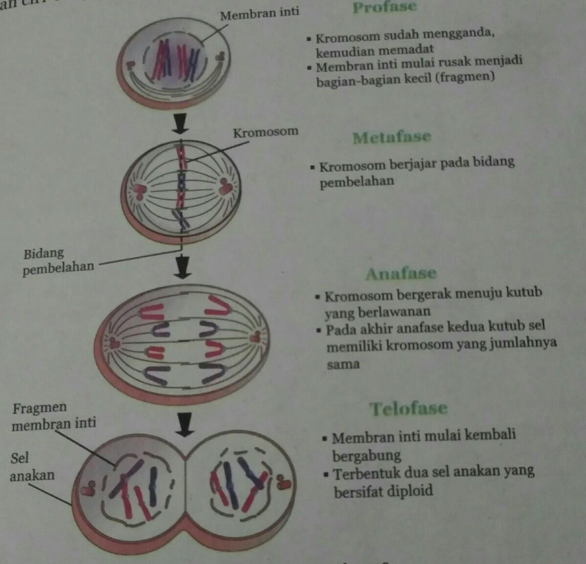 1. Perhatikan gambar fase pembelahan sel di bawah ...
