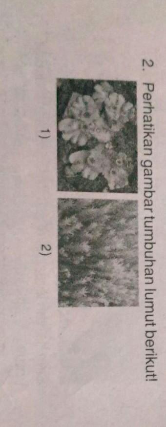 Mengapa Tumbuhan Lumut 1 Disebut Sebagai Tumbuhan Lumut Berumah Dua Sedangkan Tumbuhan Lumut Brainly Co Id