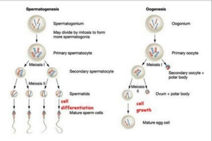 Buatlah bagan alir spermatogenesis dan oogenesistolong dong butuh unduh jpg ccuart Image collections