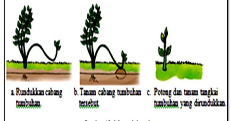 1 Tumbuhan Yang Dapat Dikembangbiakandengan Cara Merunduk Adalah A Melati Mawar Dan Apelb Brainly Co Id