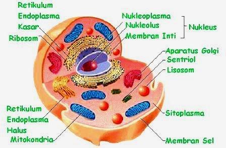 gambar sel hewan dan fungsi fungsinya - Brainly.co.id
