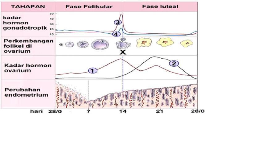 Perhatikan Gambar Grafik Siklus Menstruasi Berikut Pertanyaan Identifikasi Nama Dan Fungsi Brainly Co Id