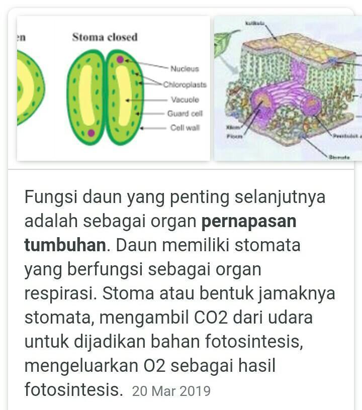 Apa Nama Alat Parnapasan Pada Tumbuhan Brainly Co Id
