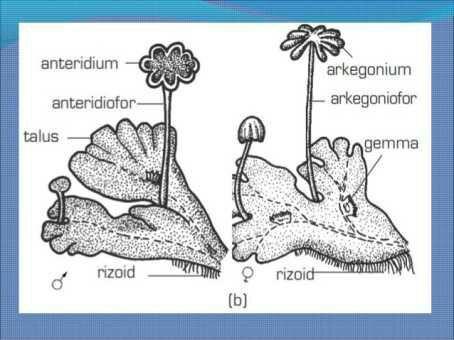 Gambar Struktur Bagian Bagian Tubuh Lumut Hati Brainly Co Id