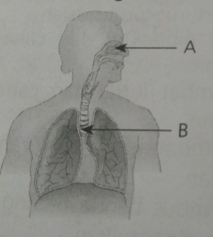 17++ Fungsi organ pernapasan yang ditunjukkan huruf b pada gambar adalah ideas in 2021