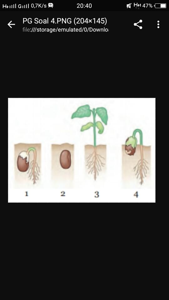 gambar berikut menunjukan tanaman buncis pada tahap ...