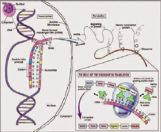 process of protein synthesis