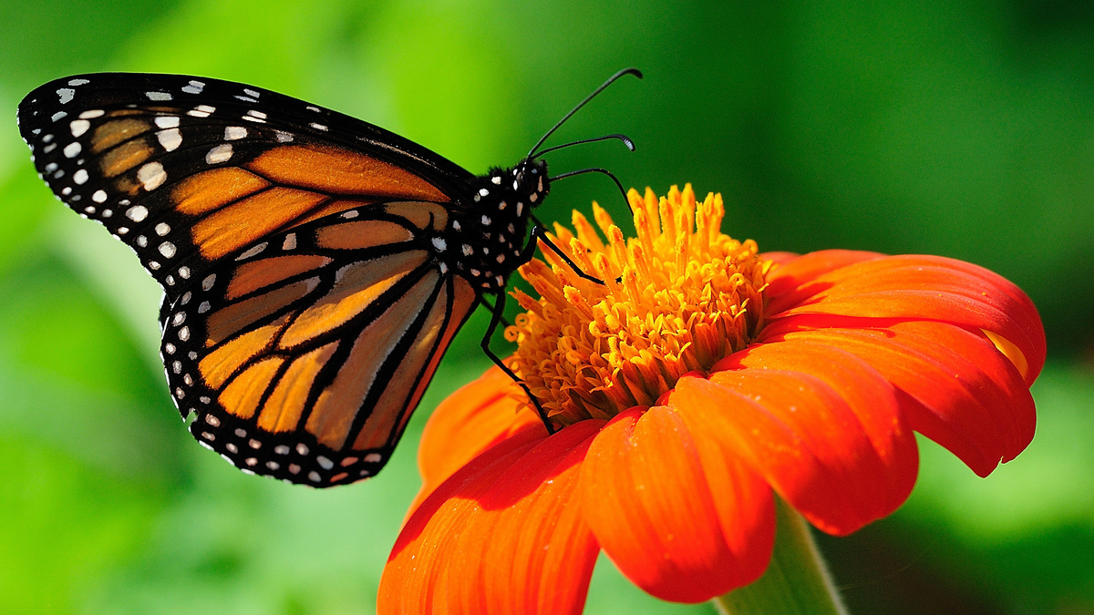 Kenapa Kupu Kupu Menghisap Madu Yang Ada Di Bunga Brainly Co Id