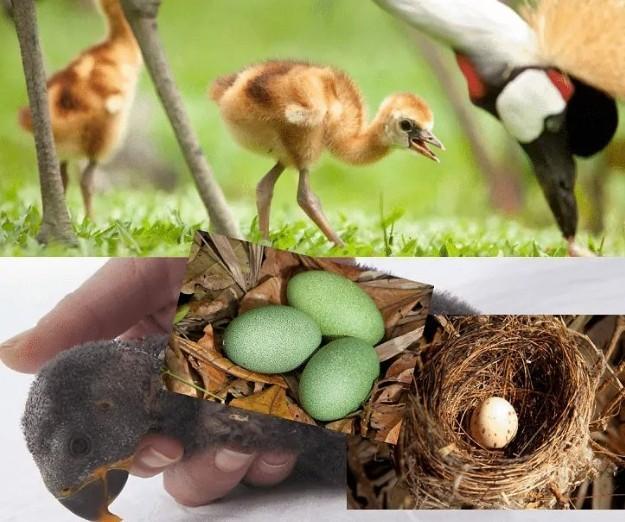Kemampuan Burung Kasuari Dalam Mengeluarkan Telurnya Yang Besar Brainly Co Id