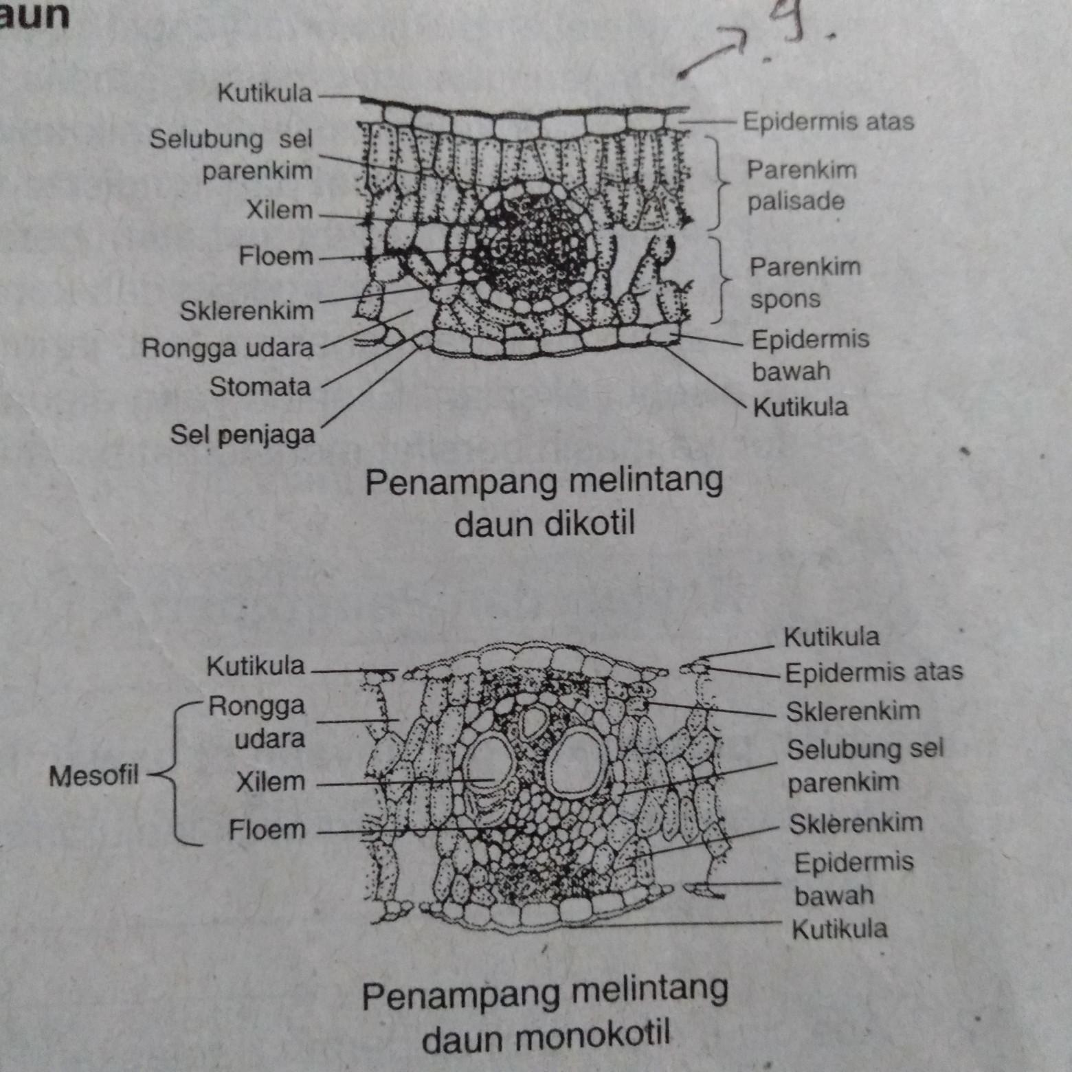 Gambar Struktur Daun Dikotil Dan Monokotil Brainly Co Id